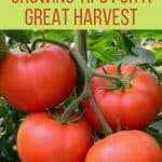 6 Tomato Growing Tips for a Great Harvest - Stone Family Farmstead