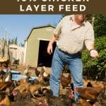 farmer feeding chickens - How to Make Chicken Layer Feed - Stone Family Farmstead