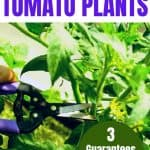 hand pruning tomato plant