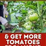 hands pruning tomato plant