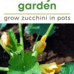 Simple Guide for Growing Zucchini in Pots - Stone Family Farmstead