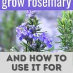 blooming rosemary plant