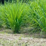 How to Grow Lemongrass and Ways to Use It - Stone Family Farmstead