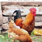 How to Feed Chickens - Stone Family Farmstead