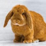 brown rabbit - How to Easily Correct GI Stasis in Rabbits - Stone Family Farmstead