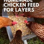 chickens eating - How to Make Chicken Feed for Layers - Stone Family Farmstead