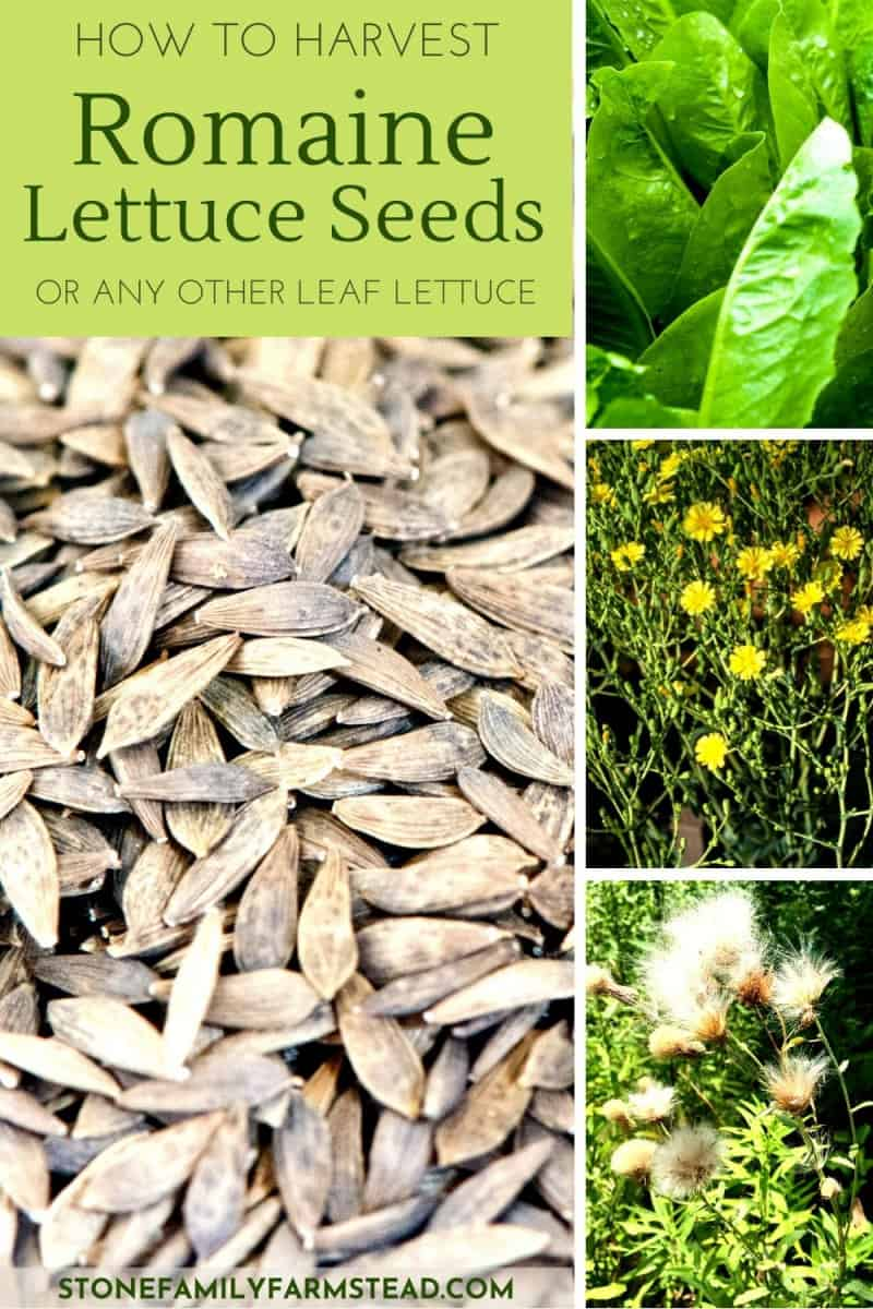 various stages of romaine lettuce seeds